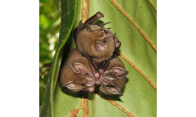 The scientists found out, that bats are transmitters of infections dangerous for humans