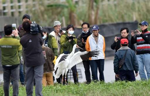 The Siberian white crane that landed in Taiwan after getting lost on migration over a year ago made headlines