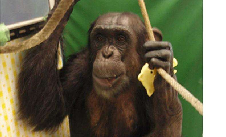 The story of how a touch screen helped a paralyzed chimp walk again