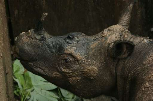 The Sumatran rhino is critically endangered with fewer than 100 remaining in the wild