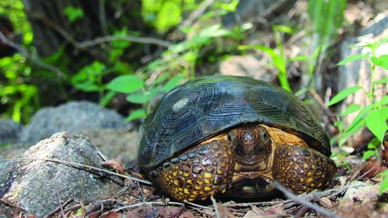 The third sister: Long-suspected third desert tortoise species proven to exist in Mexico