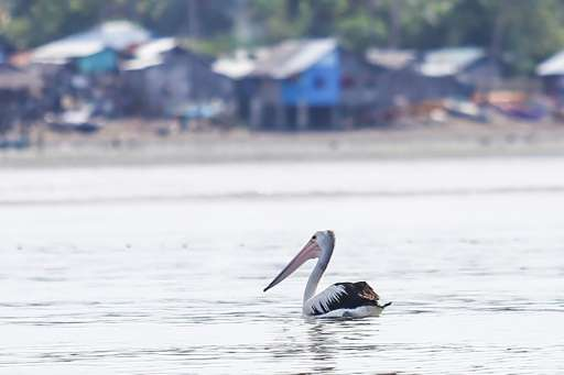 This Australian pelican, which strayed hundreds of kilometres from its nearest known habitat to end up in the Philippines, is th