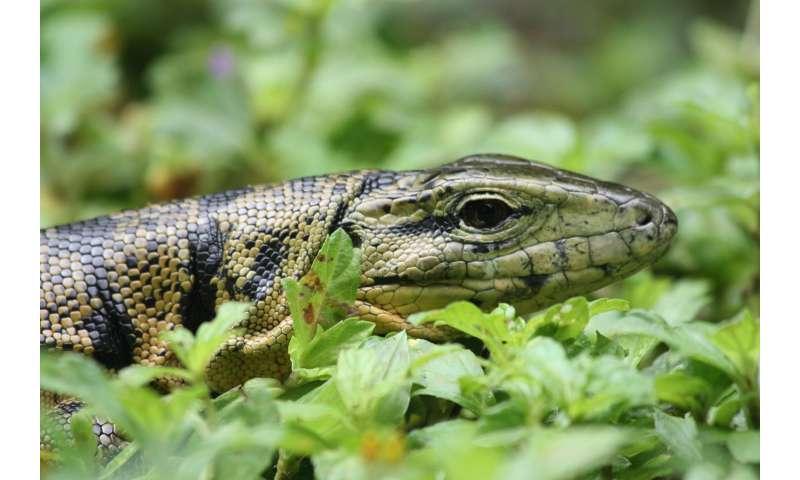 Three new species identified amongst the Tegu lizard family
