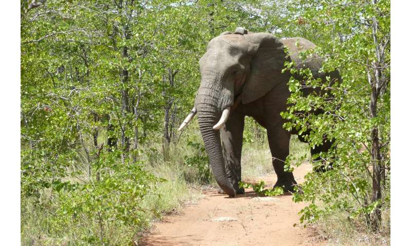 To catch a poacher: GIS, drones can improve elephant conservation