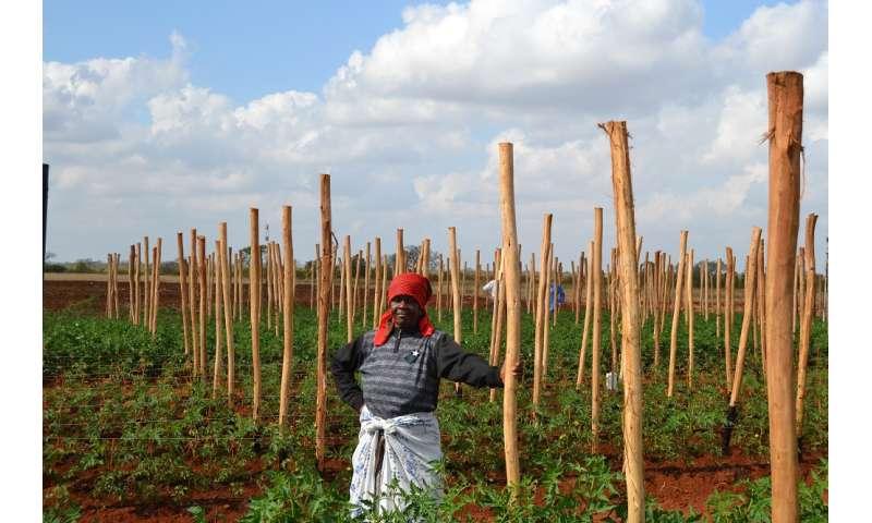 Tomato field, courtesy EAU4Food