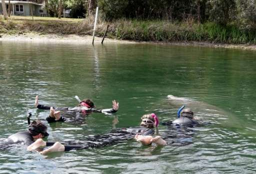Tourists swim near an endangered manatee, which is rising to the surface for a sip of air, in Crystal River, Florida