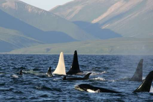 Toxic chemicals known by the acronym PCBs are poisoning killer whales in European waters, and in some cases severely impeding th