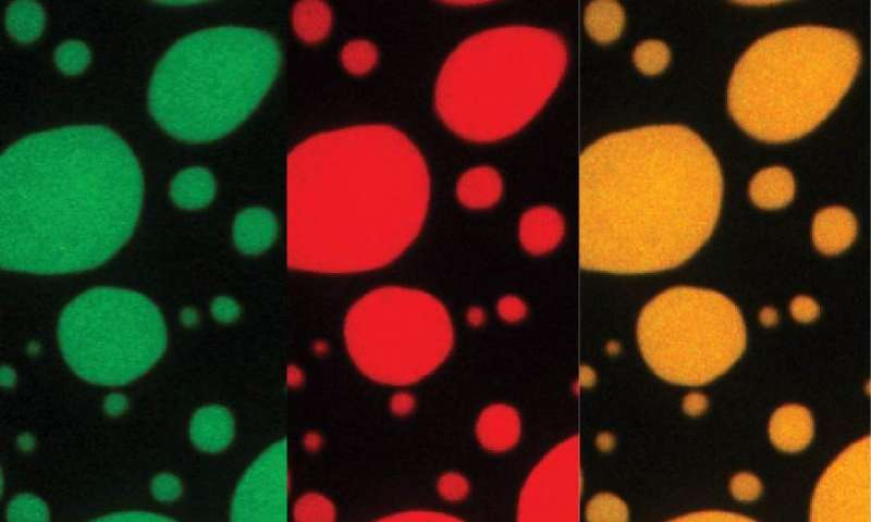 Toxic peptides disrupt membrane-less organelles in neurodegenerative disease