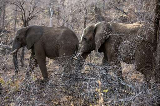 Trade in elephant ivory is strictly forbidden, but Namibia and Zimbabwe want the ban lifted so they can sell stockpiles and fund