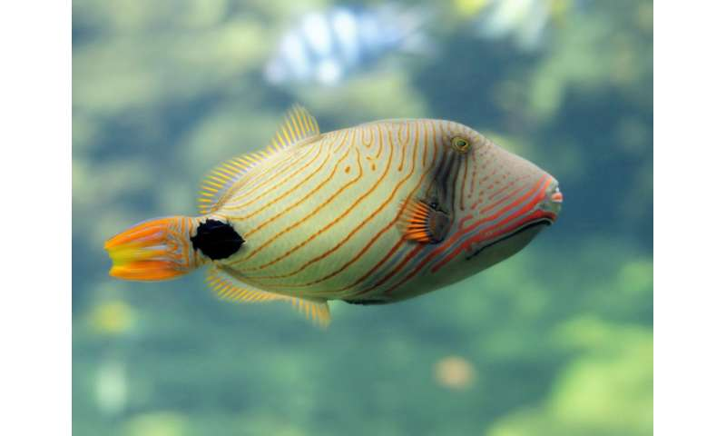 New Research Finds Animals May Help >> Triggerfish Needed To Grow Reefs New Research Finds