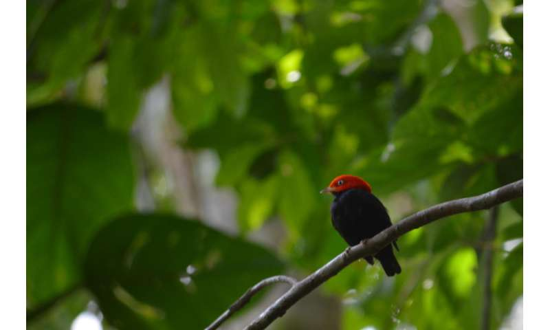 Tropical birds develop 'superfast' wing muscles for mating, not flying