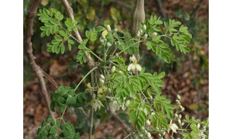 Tropical plant called moringa shows promise in health, anti-aging