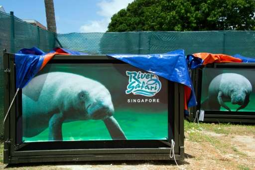 Two manatees—Kai and Junior—were relased into the Caribbean in August 2016 in a repopulation scheme