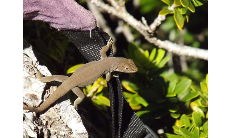Two new lizards with 'heroic past' discovered in the Chilean Andes