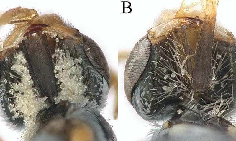Two views of Perdita coldeniae females' hair baskets with collected pollen