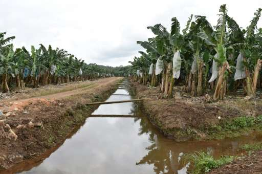 Two years after devastating floods, banana planters in Ivory Coast have staged a comeback, eyeing an increase in production and