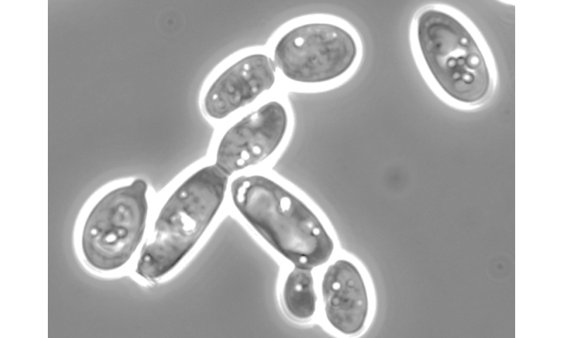 UCR research advances oil production in yeast