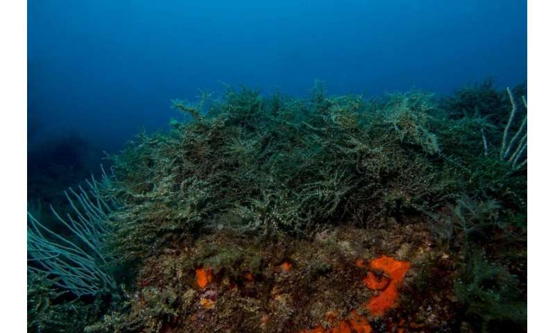 Underwater 'Cystoseira zosteroides' forests, the Mediterranean algae, threatened by human activity impact
