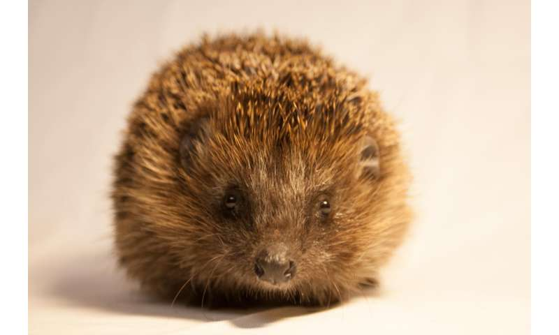 Urban hedgehogs -- more at home in the city than you thought