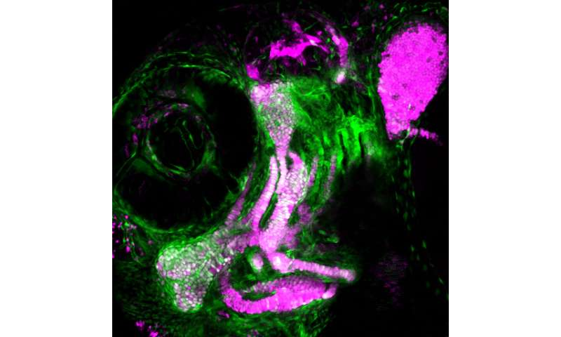 USC study shows how skeletal stem cells form the blueprint of the face