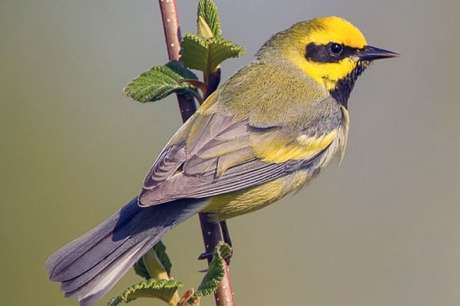 Warbler genomes look to be 99.97 percent alike