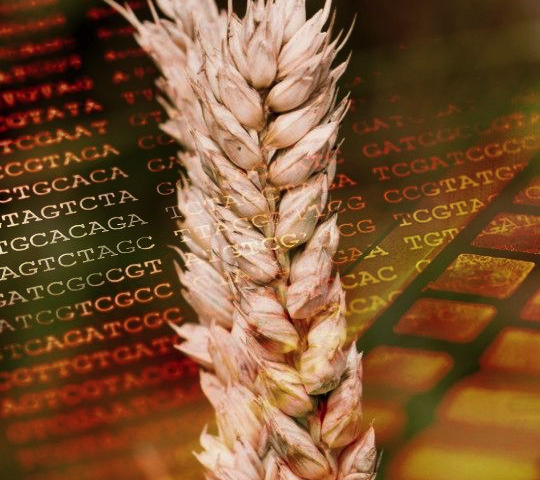 Wheat sequencing consortium releases key resource to the scientific community