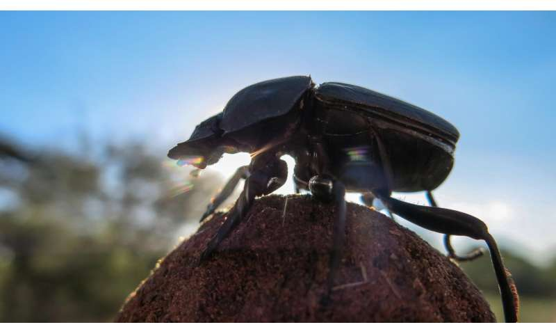 When dung beetles dance, they photograph the firmament