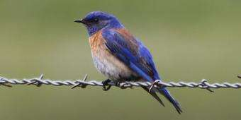 When young bluebirds don't leave the nest