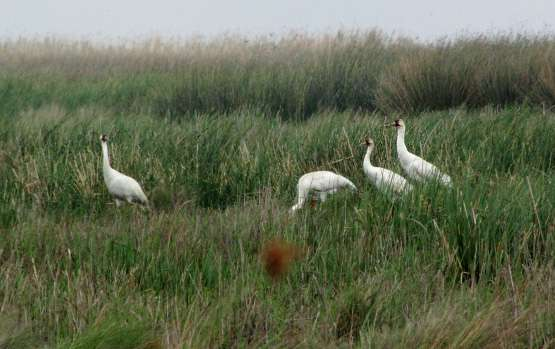 Whooping cranes' predatory behavior key for adaptation, survival
