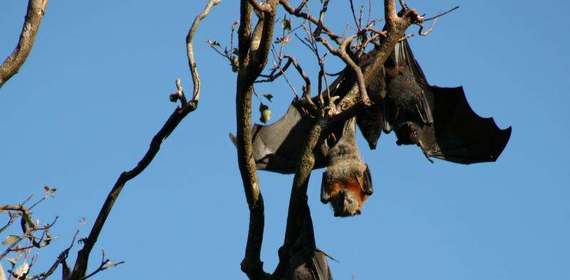 Why bats don't get get sick from the deadly diseases they carry