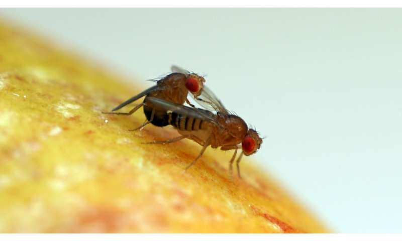 Why fruit fly sperm are giant