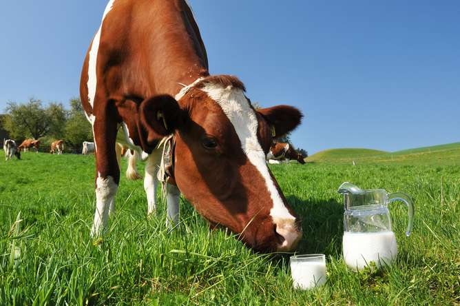 Why some humans developed a taste for milk and some didn't