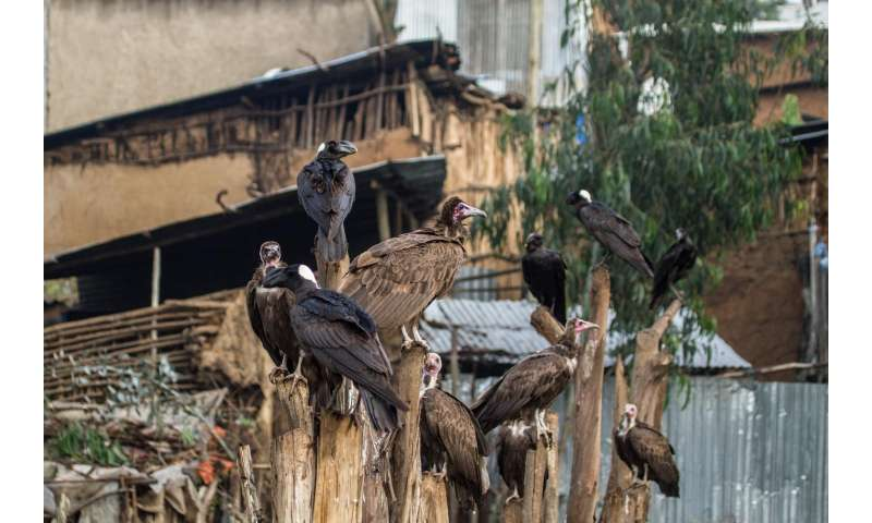 Why vultures matter -- and what we lose if they're gone