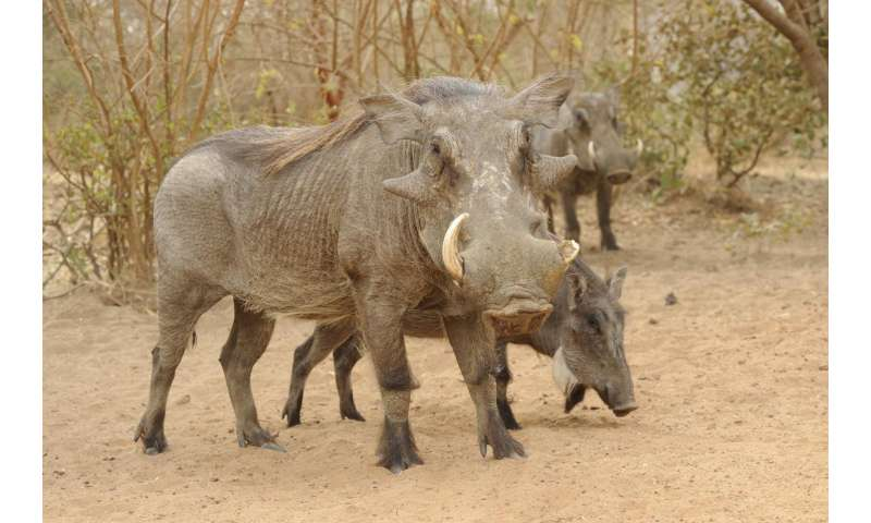 Wild boars and wart hogs may have an internal compass