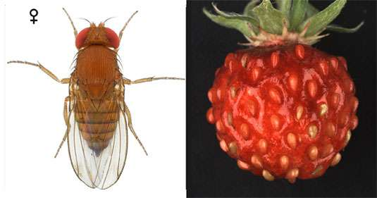 Wild strawberry that inhibits the development of the spotted-wing Drosophila fly