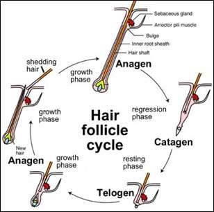 wnt signalling shown to play critical role in hair follicle stem