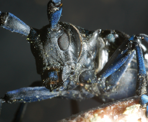 Woodland destruction by beetles is facilitated by their unique genetics
