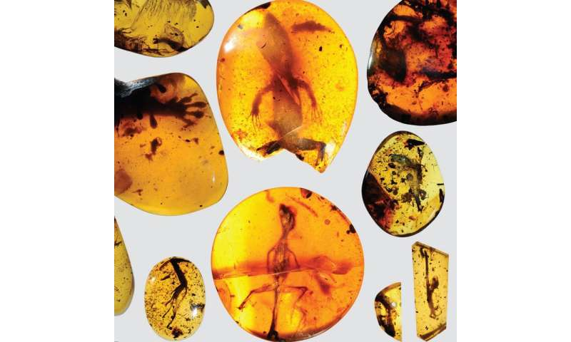 World's oldest chameleon found in amber fossil