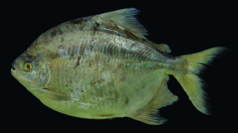Zorro, the new Latin American fish species, takes off the mask to show its true identity