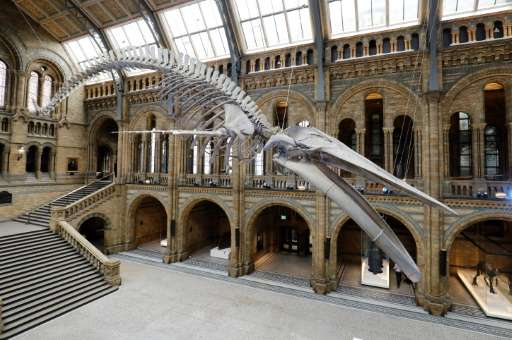 A 25.2 metre (83-foot) skeleton of a blue whale named 'Hope' pictured suspended from the ceiling after being unveiled at the Nat