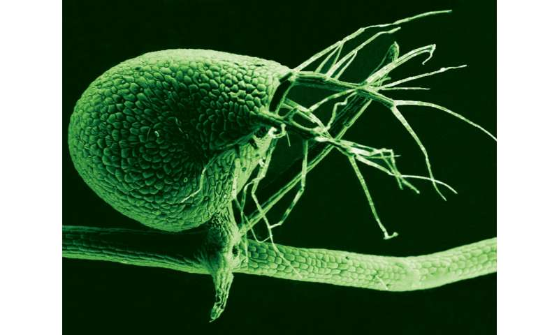A carnivorous plant's prized genetic treasures, unveiled
