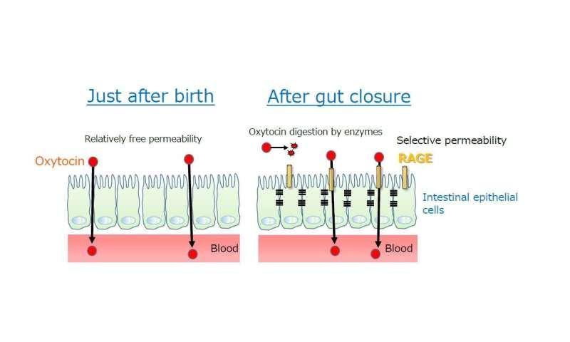 Advantages of breast feeding -- Elucidation of a molecular mechanism