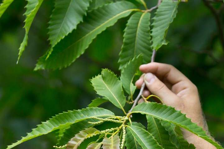 American chestnut rescue will succeed, but slower than expected