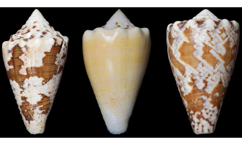 An alternative to opioids? Compound from marine snail is potent pain reliever