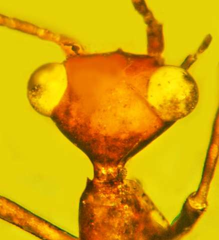 Ancient, scary and alien-looking specimen forms a rarity in the insect world -- a new order