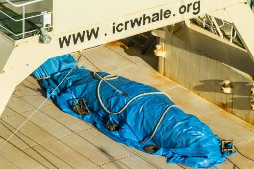 A photo released by activist group Sea Shepherd on January 15, 2017 purportedly shows a covered dead minke whale onboard Japanes