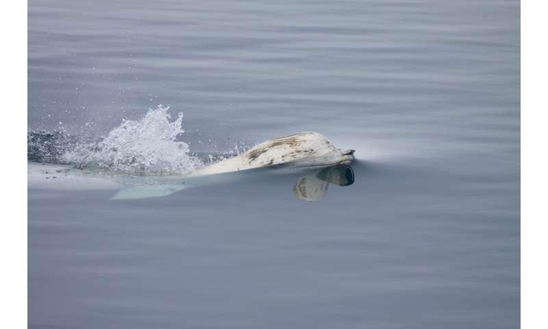 Arctic sea ice loss impacts beluga whale migration