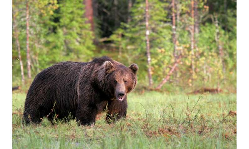 Bears breed across species borders