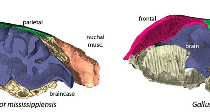 The skull bones and brain shape of achicken (top) and an Americanalligator (bottom). Credit: Fabbri et al., 2017