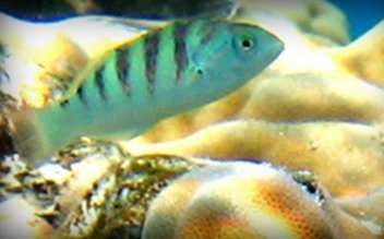 Born under an inauspicious moon, baby fish delay settlement on coral reefs